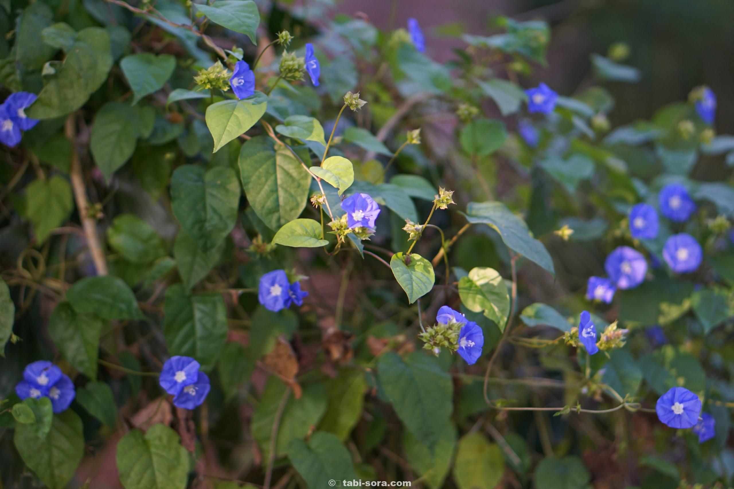 オーロヴィルの青い花