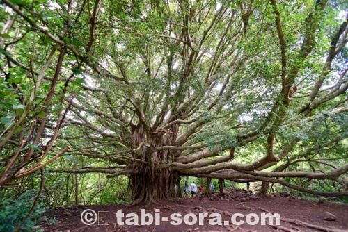 ピピワイ・トレイルの巨樹
