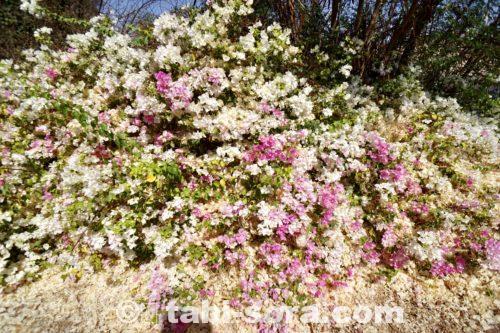 フィラエ島の花
